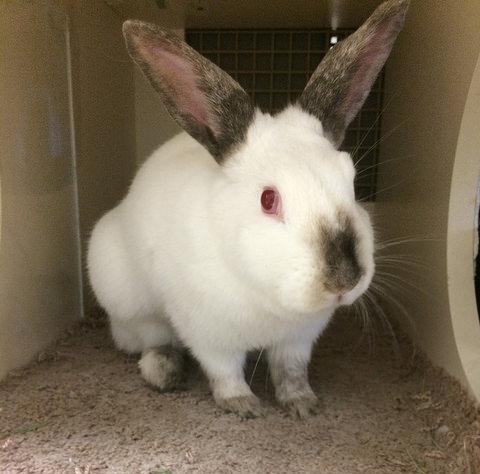 Rabbit Rescue Rabbit Breed Finder