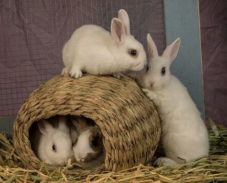 Rabbit Rescue Shelter, Los Angeles - bunny adoption, boarding and